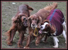 "Talli, Barkley and Daisy. The Irish Setter (Irish: sotar rua[1], literally ""red setter""), also known as the Red Setter, is a setter, a breed of gun dog and family dog. The term Irish Setter is commonly used to encompass the show-bred dog recognised b Dog Training DVDS  http://www.trainingdogsvideos.com"