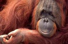 Orangutans are found on the Asian islands of Sumatra and Borneo. They are the largest living arboreal (tree dwelling) animals in the world.  They are mostly solitary with social interation occuring mainly between mothers and their dependent offspring. In the wild, Orangutans are critically endangered and may become extinct in 15-20 years.