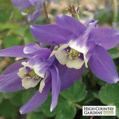 Purple Aquilegia flabellata v. nana, Aquilegia flabellata v. nana, Dwarf Japanese Columbine