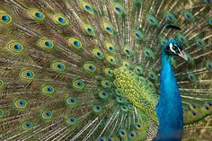 Peacock by Rob Higginbotham on 500px