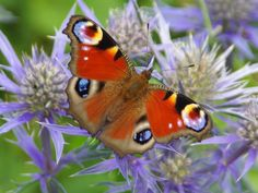 Butterfly Conservation - Upper Thames Branch