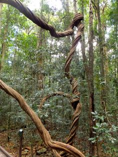 Mary Cairncross Scenic Reserve SE QLD - centuries old Wonga Vine