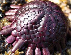 Helmet Urchin, a.k.a. colobocentrotus atratus,  Puako, Hawaii