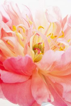 ♥ ~ ♥ Pink and Yellow ♥ ~ ♥ My Flower, Flower Power, Beautiful Flowers, Pink Love, Pretty Pictures, Peonies, Planting Flowers, Floral, Artwork