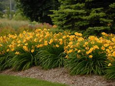 Golden lily-type flowers  punctuate a mound of strappy leaves. This is a reblooming daylily, so you can expect blossoms to open all season long. Full sun coaxes the most flowers to form. Combines well with: Siberian iris, purple coneflower and bee balm. Hardy in Zones 3 to 9.