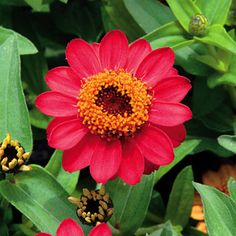 One of the newest introductions in the Zinnia Profusion series, Deep Apricot is ideal for mass plantings or containers and it laughs at heat, humidity, and drought.