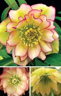"HELLEBORUS 'AMBER GEM' WINTER JEWELS® STRAIN  Code: 5HELAMBG    Genus/Common Name:  Helleborus/Christmas Rose    Size: 12"" tall x 24"" wide    Plant zone(s): 5-8    Price:  $26.95    Light Requirements:  partial shade/full shade"