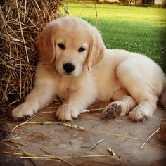 Cutest golden retriever puppy ever :)