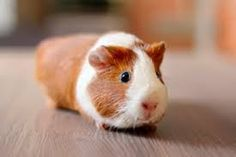 guinea pig ginger and white - Google Search