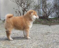 fat and fluffy Shiba Inu puppy