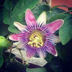 Passiflora @Südtirol/Alto Adige