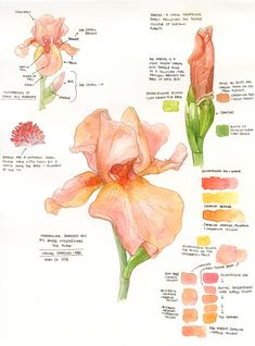 Botanical Sketchbook: 'Ask Alma' Bearded Iris — Amanda Farquharson I saw these gorgeous Irises at the Laking Garden of the Royal Botanical Gardens near our house (we have a membership - it's amazing for toddlers, dogs, and botanical painters alike! Atlanta Botanical Garden, Botanical Gardens, Botanical Drawings, Botanical Prints, Watercolor Flowers, Watercolor Paintings, Watercolour, Iris Painting, Impressions Botaniques