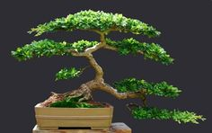#bonsai Black Olive (Bucida spinosa). Mine only has one canopy at the moment... keeping it simple :)