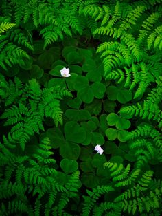 Eternal Mystery: Queets Rainforest, Olympic National Park, Washington, USA Delicate ferns curiously encircle a bed of fresh clovers and wildflowers in the depths of the Queets Rainforest. Photo © copyright by Alex Mody. Landscape Photography, Nature Photography, Color Photography, Verde Neon, Ville New York, Image Nature, Spring Images, World Of Color, Go Green
