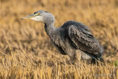 Garça-real | Grey heron | Ardea cinerea by alvaronunes - ViewBug.com