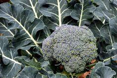 Brokkoli pflanzen ernten und lagern