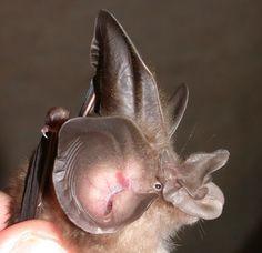 Rhinolophus paradoxolophus, a bizarre horseshoe bat from China