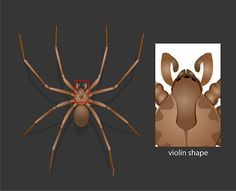 How to Identify the dangerous Brown Recluse Spider - Violin Shape - they go for months without food, prefer dead insects; very, poisonous.