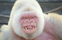gorila albino - Buscar con Google