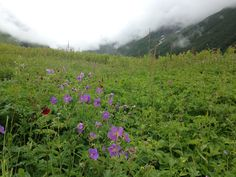 The beautiful geraniums in the Valley of flowers, India