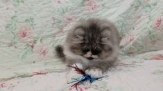 Sonic - Persian Kitten For Sale
