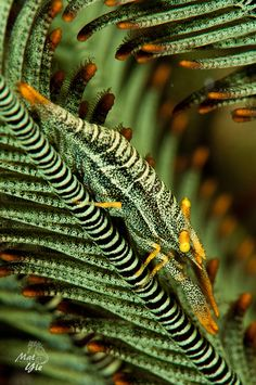 Shrimp on green crinoid (Laomenes cornutus)