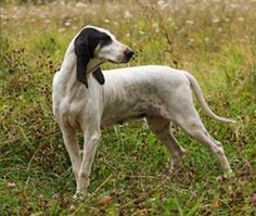 Chien de chasse - Ariégeois - #ariégois #chien arret #chien chasse - http://www.docanimo.com/chien-ariegeois/