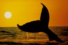 Fotografía cedida por Greenpeace en la que se ve la inmersion de una ballena jorobada.   (EFE/Greenpeace/Ushioda, Masa)