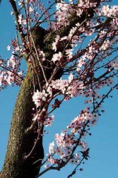 Cuadro Cherry Blossom III