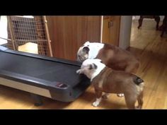 A couple of really funny English bulldog siblings hilariously squabble over which of them gets to run on their human's treadmill first. English Bulldog Funny, Two Dogs, Really Funny, Siblings, Funny Animals, Dog Videos, Treadmill, Image Link, Youtube