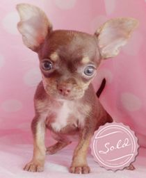 Chocolate Chihuahua Puppies For Sale at TeaCups