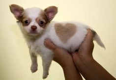 Such a cute puppy with a heart strip shirt. I want this so bad