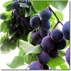 Plums - one of the first things I'll plant in my orchard.