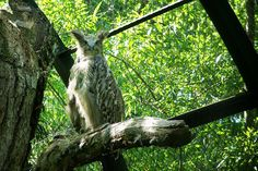 Blakiston's Fish Owl, Bubo blakistoni, is a fish owl, a sub-group of eagle owls who specialized in hunting riparian areas.