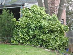 Aucuba japonica   Aucuba for shady side of house at the foot of the large conifers.