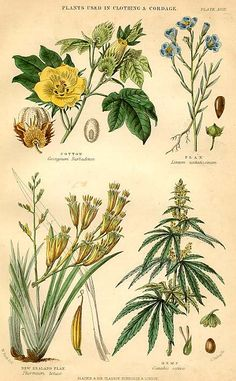 H emp - C hanvre - H anf Late and century German hemp and French chanvre *** Hemp - made of the Cannabis plant -. Marijuana Plants, Cannabis Plant, Cannabis Oil, Medical Cannabis, Plant Illustration, Botanical Illustration, Botanical Drawings, Botanical Prints, New Zealand Flax