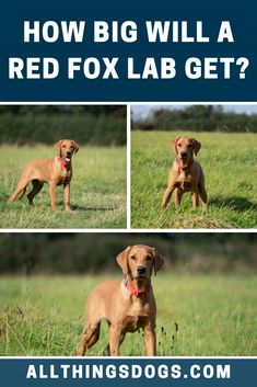 The Red Fox lab size can be classified as medium to large sized dogs, as male dogs typically stand between inches and can weigh anywhere between pounds. Fox Red Labrador, Labrador Retriever, Large Dog Breeds, Large Dogs, Medium Sized Dogs, Funny Dog Pictures, Red Fox, Beautiful Dogs, Make You Smile