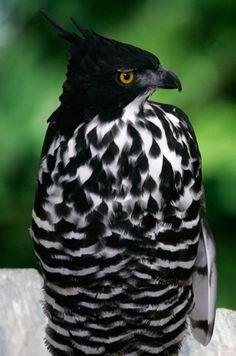 fairy-wren:  blythe's hawk eagle (photo by halex)