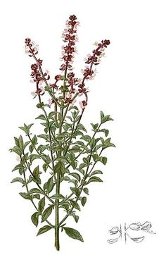 Basil~this is herb is connected with the sun it can be used fresh, dried or in oils.  The magickal properties of Basil are:  Fire energy, Salamander magick, temple Blessings and invokes the archtype of the Dragon and its powers.