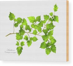 Hawthorn Pressed Leaf Art Wood Print by Christina Rollo. All wood prints are professionally printed, packaged, and shipped within 3 - 4 business days and delivered ready-to-hang on your wall. Choose from multiple sizes and mounting options. Wood Plank Art, Pressed Leaves, Colorful Abstract Art, Thing 1, Leaf Art, Office Art, Selling Art, All Print, Wood Print