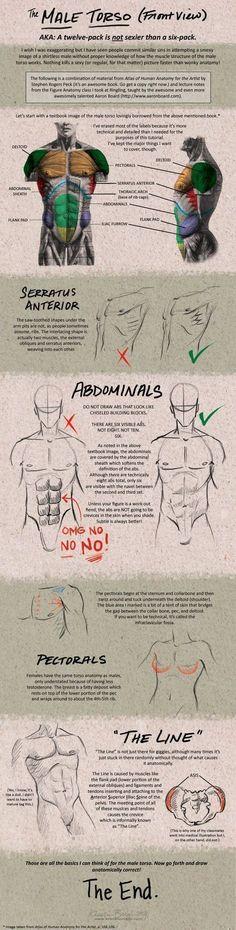 Torso Muscles #anatomy