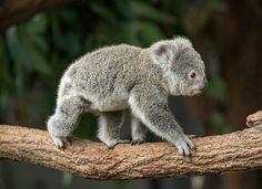 Koala baby, Australia