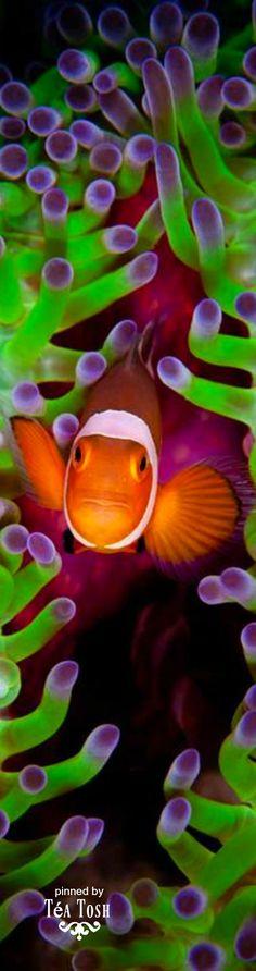 ❈Téa Tosh❈Clown Fish