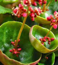 """Crassula Umbella aussi nommée """"verre à vin""""  pour des raisons évidentes... Ses fleurs peuvent devenir très grandes!"""