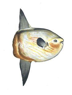 La môle est un gros #poisson sans queue. La forme de sa nageoire caudale lui donne son allure si particulière. Sa silouette est plate et sa taille atteint en moyenne de 1,80 mètre pour un poids de 1 000 kg. Certains spécimens peuvent mesurer jusqu'à 3,30 mètres et peser 2 300 kg #numelyo #bestiaire #océan