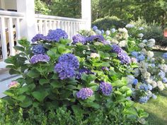 Hydrangeas in front of my porch; foolproof summer color
