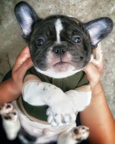 French Bulldog Puppy, Too cute ; } #buldog