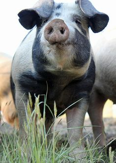 I could see he was a very cute spotty hog and he was SQUINTING REAL HARD to see what was right in front of him, due to pigs poor eyesight.