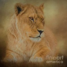 Thoughtful Lioness - Square by Teresa Wilson