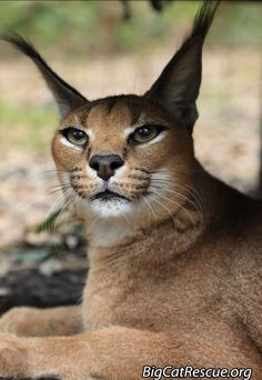 🌙 Beautiful Miss Chaos Caracal wishes you … Good night Big Cat Rescue Friends! 🌙 Beautiful Miss Chaos Caracal wishes you a peaceful sleep and sweet dreams! Caracal Cat, Serval, Kittens And Puppies, Cats And Kittens, Beautiful Cats, Animals Beautiful, Big Cats, Cute Cats, Animals And Pets